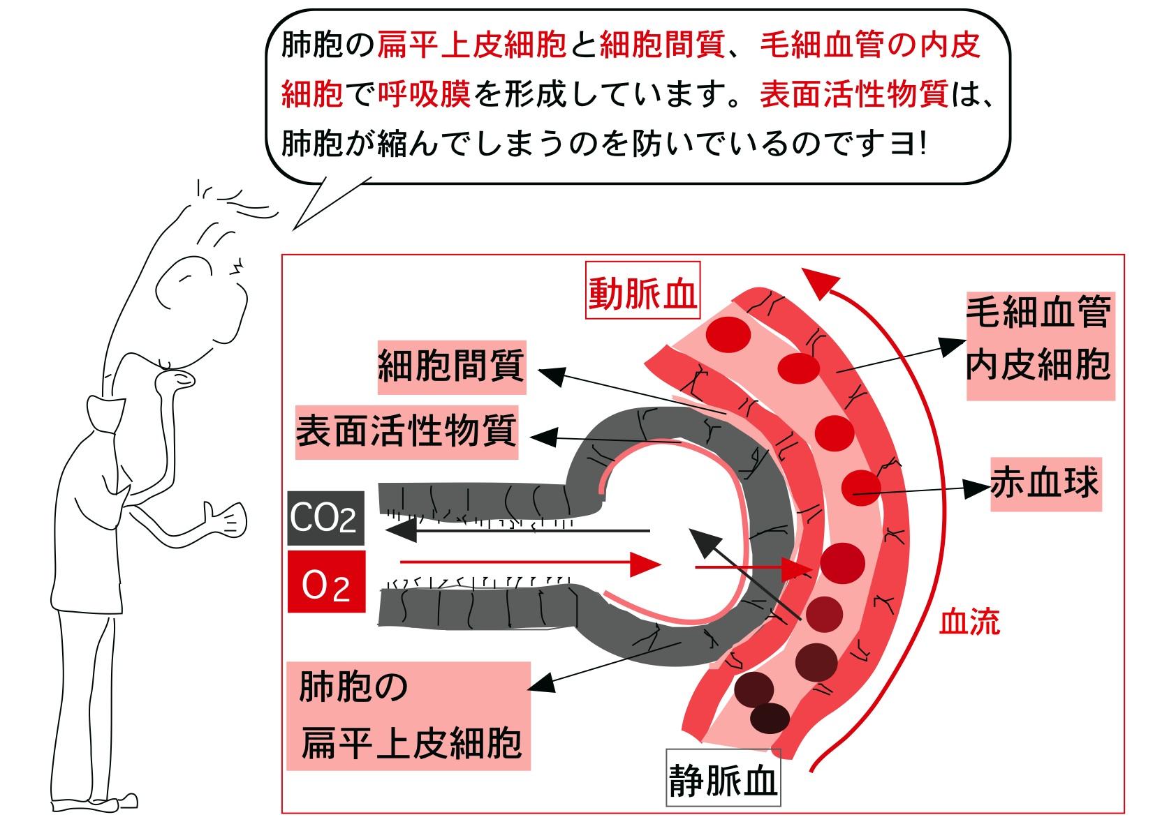 肺胞.png 補)肺胞と血液の間で行われる酸素と二酸化炭素のガス交換を外呼吸(がいこ... 看護